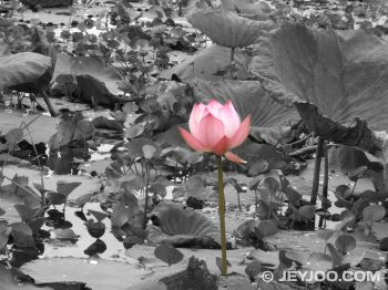 single-lotus-flower